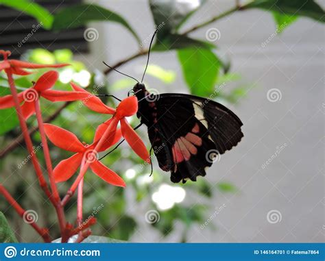 Parides Iphidamas Butterfly Feeding On Nectar From Flower