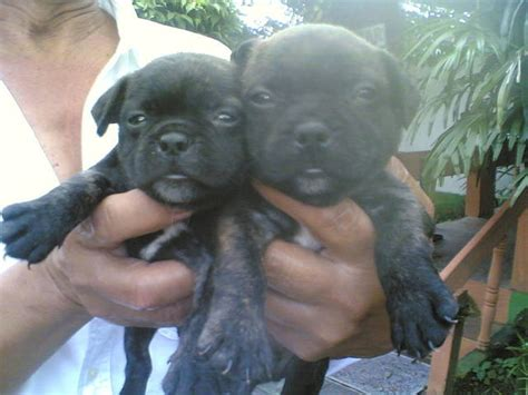 french bulldog pups Rush very affordable FOR SALE ADOPTION