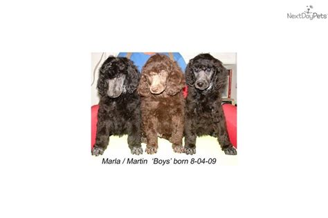 Puppies for Sale from Ash's-Mystical Poodles - Member