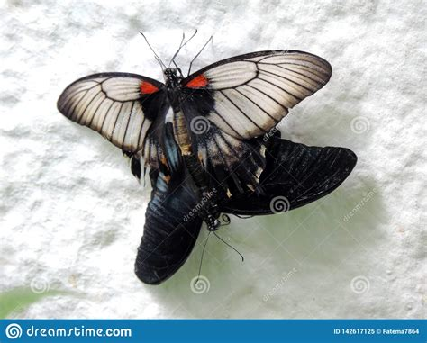 Papilio Lowi Butterfly Mating Inside The Dubai Butterfly